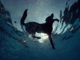 An Underwater View of a Black Labrador Retriever Swimming Impressão fotográfica por Bill Curtsinger
