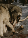 A Snarling Alpha Male Gray Wolf, Canis Lupus, Defends a Kill Stampa fotografica di Jim And Jamie Dutcher