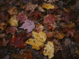 Autumn Colors Overlap in a Pile of Fallen Leaves Photographic Print by Sam Kittner