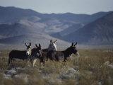 Wild Burros Descended from Those Left by Prospectors Fotografisk tryk af Gordon Wiltsie