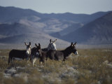 Wild Burros Descended from Those Left by Prospectors Photographic Print by Gordon Wiltsie