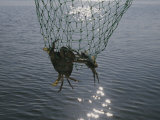 Two Blue Crabs Caught in a Net Fotografisk tryk af Stacy Gold