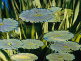 Water Lily Pads on the Surface of a Chicago Botanic Garden Pool Reproduction photographique par Paul Damien