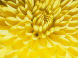 Close-up of a Yellow Chrysanthemum Fotografisk tryk af Vlad Kharitonov