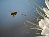 Seen Frozen in Flight, a Bee Carries Pollen Towards a Big White Flower Fotoprint van Stephen St. John