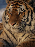 A Close View of a Proud Siberian Tiger Fotografisk tryk af Marc Moritsch