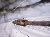 Beaver Swimming in the Sheenjek River Fotografisk tryk af George F. Mobley
