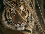 A Captive Tiger Shows a Formidable Expression Trykk på strukket lerret av Roy Toft