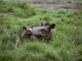 Mother and Juvenile Brazilian Tapirs in the Marsh Grass Lámina fotográfica por Nicole Duplaix