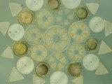 Diatoms Fotografie-Druck von Darlyne A. Murawski