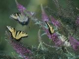 A Group of Yellow Swallowtail Butterflies on Flowers Fotoprint van Taylor S. Kennedy