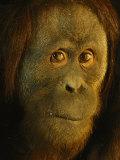 Orangutan (Pongo Pygmaeus) Fotografisk tryk af Richard Nowitz