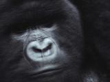 A Silverback Mountain Gorilla Fotografisk trykk av Michael Nichols