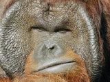 A Portrait of a Captive Male Orangutan Fotografie-Druck von Norbert Rosing