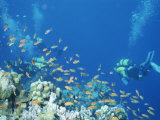 Divers Enjoy the Beauty of the Reefs and Marine Life in the Red Sea Fotografie-Druck von Peter Carsten