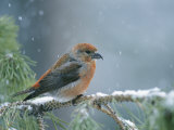 A Red Crossbill Weathers a Snowstorm in a Pinetree Reproduction photographique par Michael S. Quinton