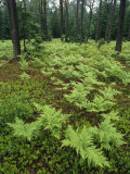 Woodland View in a Pine Forest with Ferns Fotografisk tryk af Klaus Nigge