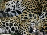 Détente pour un jaguar et son petit Reproduction photographique par Steve Winter