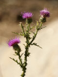A Close View of a Thistle Wildflower Fotografisk tryk af Charles Kogod