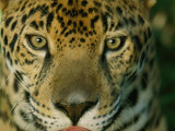 A Jaguar Looks into the Camera Lens from a Very Close Distance 写真プリント : スティーブ・ウィンター