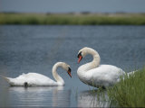 Swans in a Pond Photographic Print by James L. Stanfield
