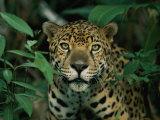 A Jaguar Looks into the Camera 写真プリント : スティーブ・ウィンター