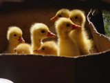 Baby Ducklings Stretched Canvas Print by James L. Stanfield