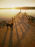 A Black Labrador Pauses by the Waterfront Impressão fotográfica por Bill Curtsinger