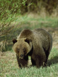 Full View of a Massive Grizzly Bear Fotografisk trykk av Michael S. Quinton