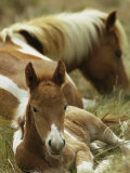 Wild Pony and Foal at Rest in a Grassy Plain Photographic Print by James L. Stanfield
