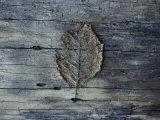 A Decomposing Leaf Sits on a Log in the Hoh River Valley Photographic Print by Sam Abell