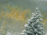 Aspen Trees Get a Dusting of Snow from an Autumn Storm Fotografisk tryk af Paul Chesley