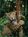 A Jaguar Sharpens it Claws on a Tree Trunk Reproduction photographique par Steve Winter