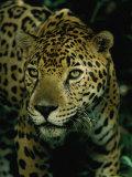 Un jaguar à l'affût Reproduction photographique par Steve Winter