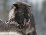 Gray Wolf Licks its Lips While Feasting on Mule Deer Fotografisk tryk af Jim And Jamie Dutcher