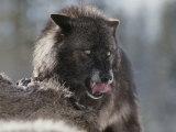 Gray Wolf Licks its Lips While Feasting on Mule Deer 写真プリント : ジム・アンド・ジェイミー・ダッチャー