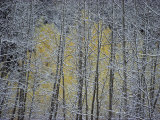 Snow-Covered Branches of a Stand of Aspen Trees Make a Lacy, Web-Like Pattern Fotografisk tryk af Paul Chesley