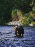 A Kodiak Brown Bear Hunts for Fish Impressão fotográfica por George F. Mobley