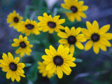 Close View of Black-Eyed Susan Flowers Photographic Print by Raul Touzon