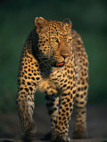 Portrait of a Five-Year-Old Leopard Photographic Print by Kim Wolhuter
