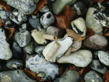 Stones and Shells at Beach, Close View, Jasmund National Park Fotografisk trykk av Norbert Rosing