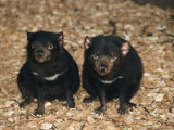 Tasmanian Devils, Tasmania, Australia Lámina fotográfica por Joe Stancampiano