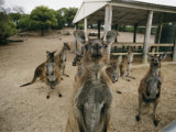 A Group of Kangaroos Look Confused Photographic Print by Joe Scherschel