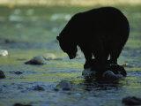 Un ours perché sur un rocher à la recherche d'un poisson Reproduction photographique par Joel Sartore
