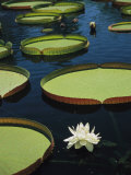Large Lily Pads and Flowers Float in Calm Water Fotografisk tryk af David Evans