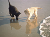 Two Retriever Pups Walk in the Surf at a Beach Fotografisk tryk af Bill Curtsinger