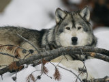 Portrait of a Captive Gray Wolf Stampa fotografica di Roy Toft