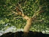 A Bonsai Japanese Maple Tree (Acer Palmatum) Photographic Print by Darlyne A. Murawski