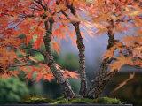 Tree Branches of a Bonsai Japanese Maple Tree (Acer Palmatum) Photographic Print by Darlyne A. Murawski