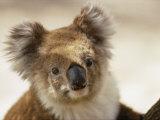 A Portrait of a Koala Fotografisk tryk af Joe Scherschel